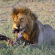 Lion behind a meal. - Stock Photo