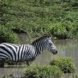 Zebra in the water. — Stock Photo
