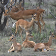 Group of antelopes the impala. — Stock Photo