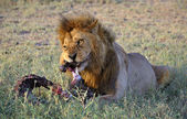 Lion behind a meal. — Stock Photo