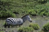 Zebra in the water. — Stock Photo