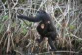 Chimpanzee with a cub. — Stock Photo