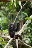 The cub Bonobo — Stock Photo