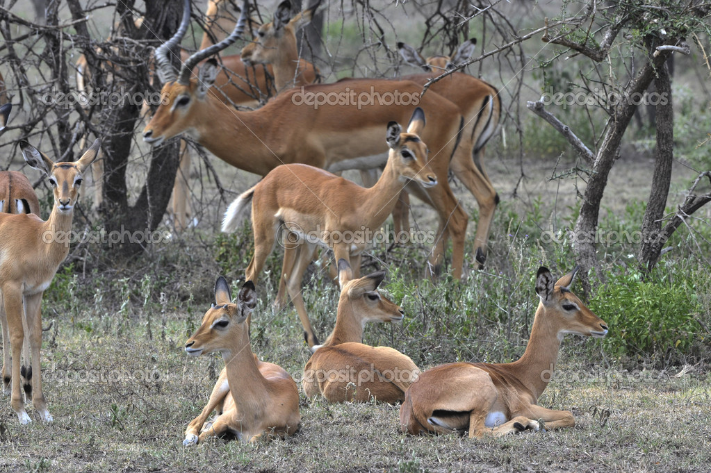 The group of antelopes the impala costs on the grass which has turned yellow from the hot sun. — Stock Photo #9340198