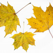 Autumn yelow maple leafs. — Stock Photo