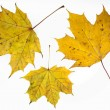 Autumn yelow maple leafs. — Stock Photo #9448210