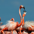 American Flamingo. — Stock Photo