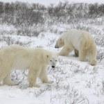 dva lední medvědi — Stock fotografie