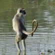 Langur in water - Stock Photo