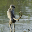 Stock Photo: Langur in water