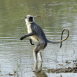 Langur in water — Stock Photo