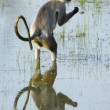 Langur in water with reflection - Stock Photo