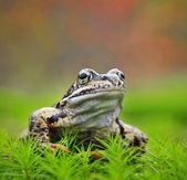 Common Frog Portrait — Stock Photo