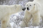 Two Polar Bears. — Stockfoto