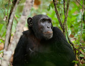 Wild Chimpanzee portrait — Stock Photo