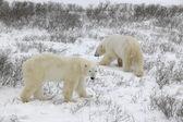 два белых медведя. — Стоковое фото