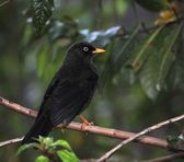 The Sooty Thrush. — Stock fotografie