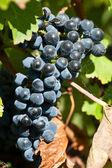 Спелый виноград прямо до сбора урожая в летнее солнце — Стоковое фото