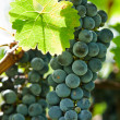 Ripe red wine grapes right before harvest — Stock Photo #10228779