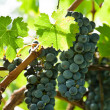 Ripe red wine grapes right before harvest — Stock Photo