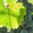 Ripe red wine grapes right before harvest - Stock Photo