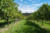 Vine rows on a sunny day — Stock Photo