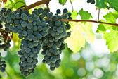 Uve da vino rosse mature proprio prima del raccolto — Foto Stock