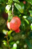 Frutto di melograno e fiore di un giorno di sole — Foto Stock