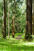 Forest, Dandenong Ranges National Park, Yarra Valley — Stock Photo