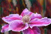 Clematis flower with colourful background — Stock Photo