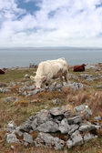 Cattle grazing on the burren — Stock Photo