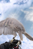 Falcon lands on a gloved hand — Stock Photo