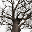 Silhouette of an ancient tree — Stock Photo