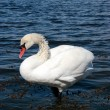 White swan alone — Stock Photo