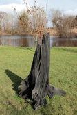 Solid black bog oak — Stock Photo
