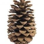 Single pine cone — Stock Photo #8878864