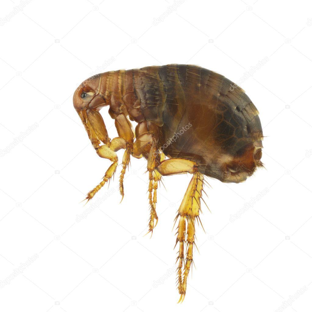 Picaduras de pulgas en humanos fotos 45