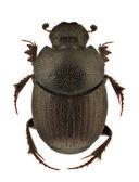 Onthophagus ruficapillus — Stock Photo