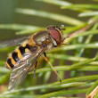Syrphus species — Stock Photo