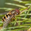 Stock Photo: Syrphus species