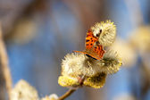 Polygonia c-album — Stock Photo
