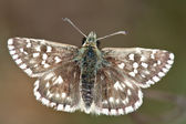 The Grizzled Skipper Pyrgus malvae — Stock Photo