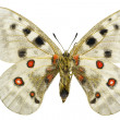 Stock Photo: Parnassius apollo