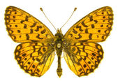 Boloria selene — Stock Photo