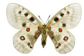 Parnassius apollo — Stock Photo