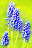 Blue Spring hiacynth close up — Stock Photo