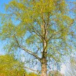 Beautiful birch tree in springtime — Stock Photo