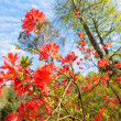 Blooming red azalea plant — Stock Photo