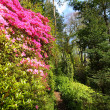 Pink azalea and conifer trees in the old garden — Stock Photo