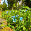 Meconopsis  'LINGHOLM' blue flowers — Stock Photo